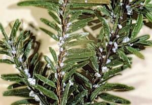 Photo of Hemlock Wooly Adelgids on plant