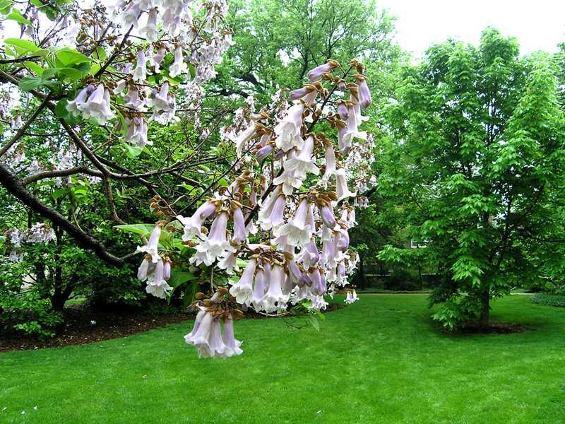 What are the purple flowered trees extension master gardener paulownia tomentosa mightylinksfo