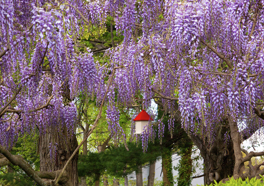 What are the purple flowered trees extension master gardener wisteria sinensis mightylinksfo