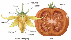 Tomato --flower to fruit