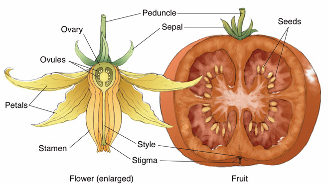 Flicking the tomato flower can help tomato fertilization ...