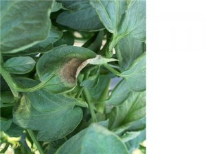 The first symptoms of late blight on tomato leaves are irregularly shaped, water-soaked lesions.