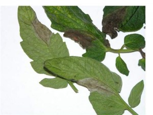 During humid conditions, white cottony growth of P. infestans may be visible on the underside of affected leaves.
