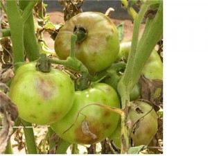 Infected fruit are typically firm with spots that eventually become leathery and chocolate brown in color.