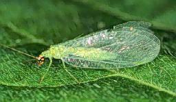 GreenLacewings
