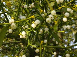 Mistletoe Berries