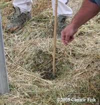 straw mulch to discourage weeds and retain moisture
