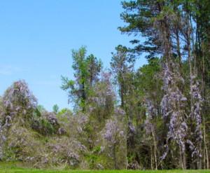 Wisteria forest photo courtesy of peidmontgardener.org