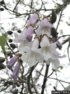 The dangling flowers of  Paulownia grow from an upward-growing stem and collectively form a panicle