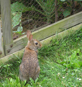 rabbit.fence