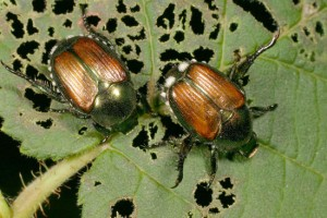 Japanese Beetles, courtesy of University of Illinois