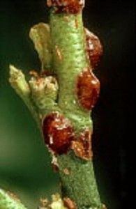 Soft Scale Insects on Plant Stem