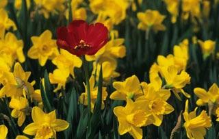 Daffodils and tulip