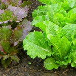 Lettuce-Cool Season Vegetable_photo by NCSU Extension