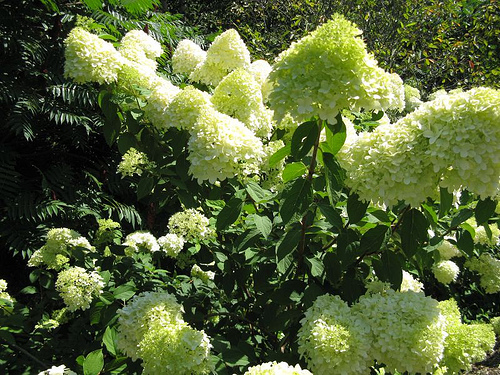 pruning hydrangeas. Black Bedroom Furniture Sets. Home Design Ideas