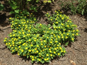 Green and gold groundcover (Chrysogonum virginianum)