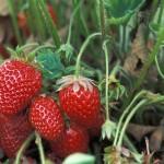 strawberriesgrowing