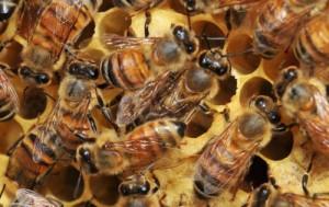 European_honeybee