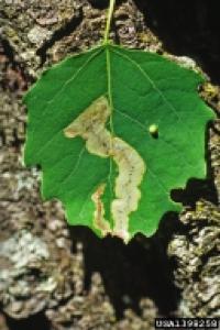 Leafminer,bugwood.org