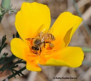 honey bee with pollen load