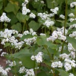 better_flowering_buckwheat_with_bee-2