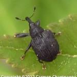 Poplar Weevils