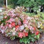 Hydrangea-quercifolia--Henryr10--cc-by-nc-nd-2-0