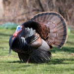 Eastern Wild_Turkey