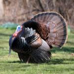 Eastern Wild_Turkey