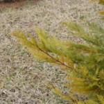 Leyland-cypress-with-winter-color