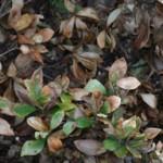hardy-gardenia-with-winter-scorch