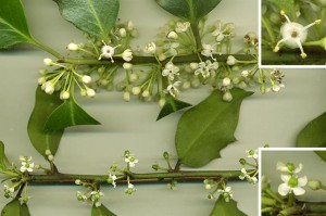 All species of holly are dioecious: individual trees or shrubs are either female or male. Top picture is twig from a male plant. Bottom picture shows twig from female tree, with close up of female flower with sterile stamen (no pollen).