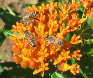 """Butterfly weed, asclepias tuberosa, not only provides food for monarch larvae, but also supplies pollen and nectar for many varieties of bees including these honey bees."
