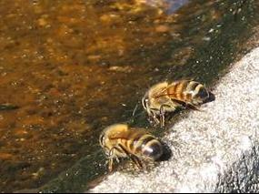 Honey bees enjoy shallow, rough watering spots such as this old bird bath with warm, even dirty (mineral-rich) water year round.