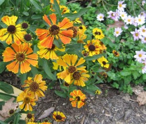 Sneezeweed, helenium, a late summer pollinator favorite