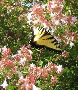 Abelia, here hosting a swallowtail, is not native to our mountains, but performs beautifully, often in bloom for six months or more. The dwarf varieties such as 'Rose Creek' maintain a neat, compact 2-3 foot wide shape which the bees especially bumble bees favor.
