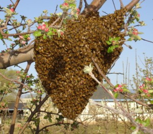 Relax: Swarming is how honey bee colonies reproduce. No swarming would mean no honey bees. Swarms of honey bees rarely sting since they have no home to protect, and because they are engorged with honey (they packed before they left their old home). Many swarms do not survive in the wild and beekeepers are eager to rescue them. Call your County Extension offices which generally have lists of area beekeepers wanting swarms.