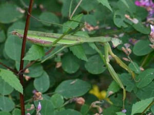 Praying Mantis, Photo, Debbie Roos