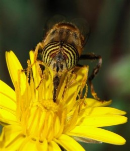 Carbing Up: Notice how the syrphid fly, disguised as a bee, gets covered with pollen when it pushes past the anthers to drink sweet nectar deep inside the flower.