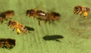 Protein Bars: Honey bees return to the hive with loaded pollen 'baskets'. Nurse bees eat much of the pollen and plenty of water to produce the royal jelly that feeds the youngest bees and the queen.