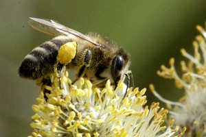 Bees as vegetarians must collect large amounts of protein-rich pollen most of which is fed to the young. They are exquisitely designed pollen collectors with their copious branched hairs and collection devices on legs or abdomen.