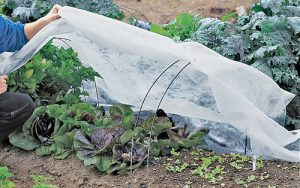 Fabric covers protect plants from insect damage.