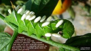 HornwormCaterpillar_onTomatoPlant