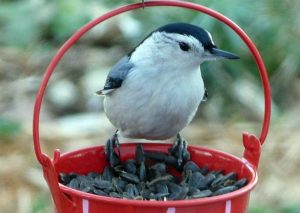 Nuthatch-with-Sunflower-Seeds
