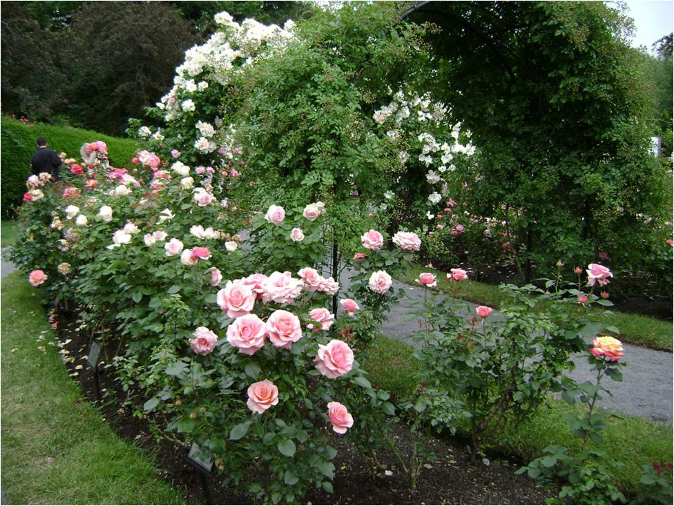Ten Tips For Growing Roses In Western North Carolina