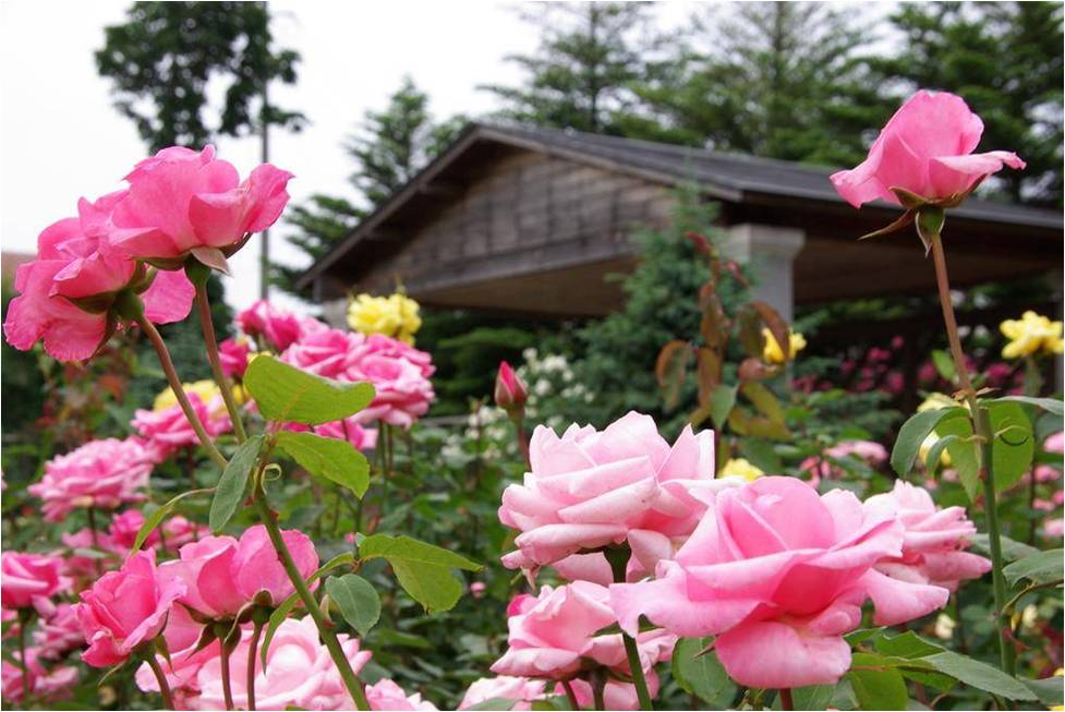 Roses In Garden: Tips For Planting, Growing, And Maintaining Roses In WNC