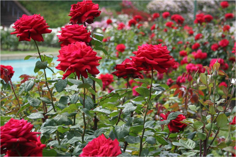 Tips For Planting Growing And Maintaining Roses In Wnc