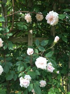 Roses_CecilBrunner_6_Close-Up