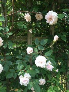 Roses_CecilBrunner_6_Close-Up