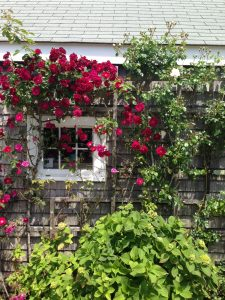 Roses_Climbing_CoversCottage